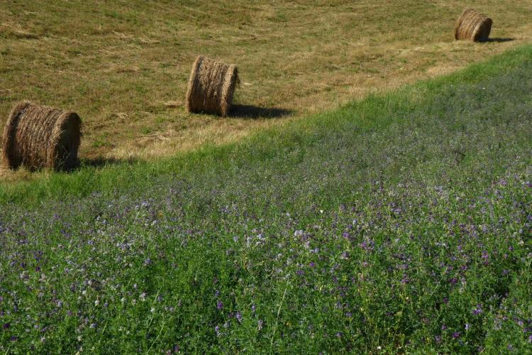 Hay is rolled next to a field of green with Lavender