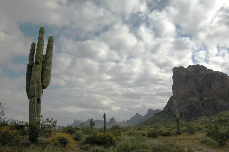 Cacti stand near a small mountain on an overcast day